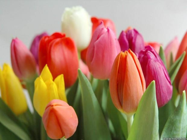 multicolour-tulips-5d